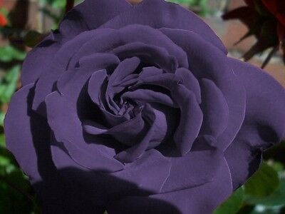Hardy * Fragrant * Beautiful Dark Purple Rose Seeds * Unique