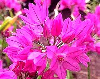 Allium oreophilum x 10 seeds. Rare.