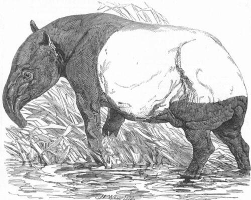London Zoo Regent/'s Park 1851 Malayan Tapir ANIMALS antique print
