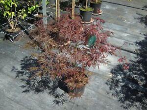 Acer-palmatum-Inaba-Shidare-roter-Schlitzahorn-80-90cm-Japanahorn-Garnet
