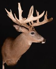 Whitetail Deer Mount 200+ and Super Wide   Antlers Taxidermy  Sheds