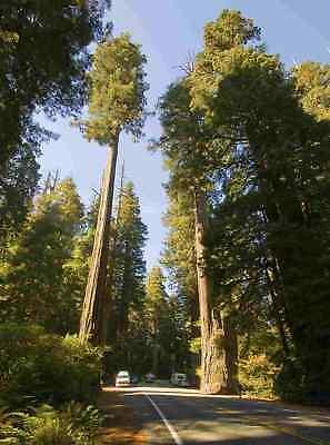 Honig Sequoia Sempervirens, 1000 Samen, Küstenmammutbaum, Mammutbaum Saatgut Ohne RüCkgabe