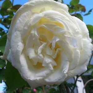 Pauls lemon pillar rose in 2l pot beautiful scented large creamy image is loading paul 039 s lemon pillar rose in 2l mightylinksfo