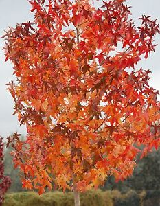 Image Is Loading American Sweetgum Liquidambar Styraciflua Tree Seeds Fall Color