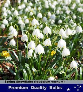 Daffodils bulbs spring snowflake white bells flower 10x bulbs image is loading daffodils bulbs spring snowflake white bells flower 10x mightylinksfo