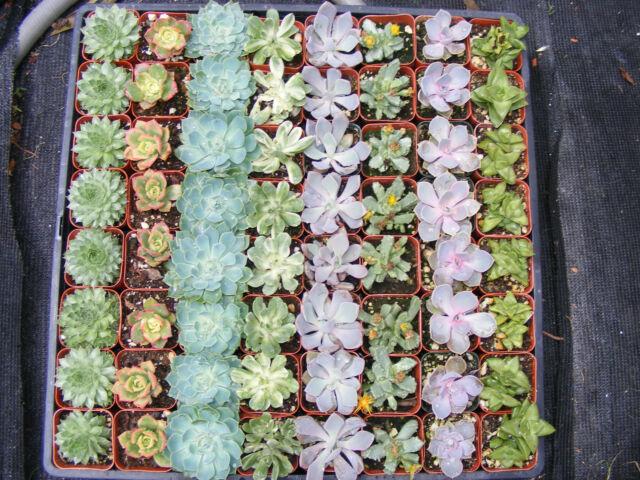 5 Assorted Succulent Plants - 2 inch pot
