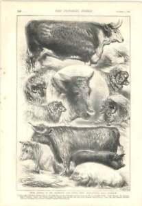 1879 Pencil Sketches Of Animals Smithfield Club Show Cattell - Bishop Auckland, United Kingdom, United Kingdom - 1879 Pencil Sketches Of Animals Smithfield Club Show Cattell - Bishop Auckland, United Kingdom, United Kingdom