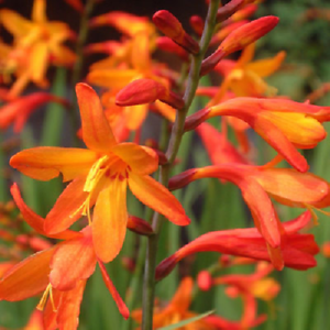 Crocosmia Lucifer montbretia Bulbs x 50 Bright Red Summer Flowering by Plug Plants Express Limited