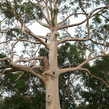 LEMON EUCALYPTUS TREE Mosquito Repellent Corymbia citriodora Scented Gum Plant