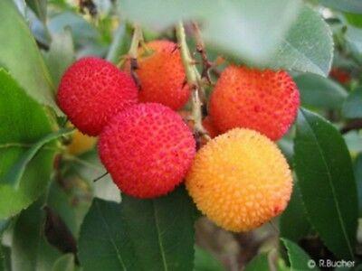 ERDBEERBAUM bringt das ganze Jahr immer wieder essbare Früchte hervor.