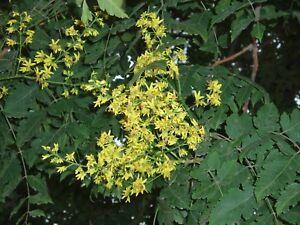 10-Semillas-de-koelreuteria-paniculata-Jabonero-de-la-China-Farolillos