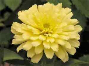 250 isabellina zinnia elegans pastel light yellow double heirloom image is loading 250 isabellina zinnia elegans pastel light yellow double mightylinksfo