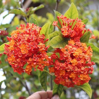 10 Seeds Mix (Soka) West Indian Jasmine Ixora Javanica Jungle Geranium (Rare)