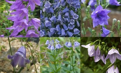 'LADY SINGS THE BLUES' BRAND NEW OFFERING SEED  FREE P/&P LADYBELLS
