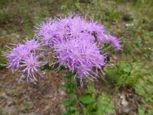 Florida-Paintbrush-Carphephorus-corymbosus-100-Seeds