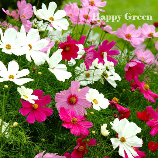 FLOWER - COSMOS - Sensation mix - 300 seeds - Cosmos Bipinnatus