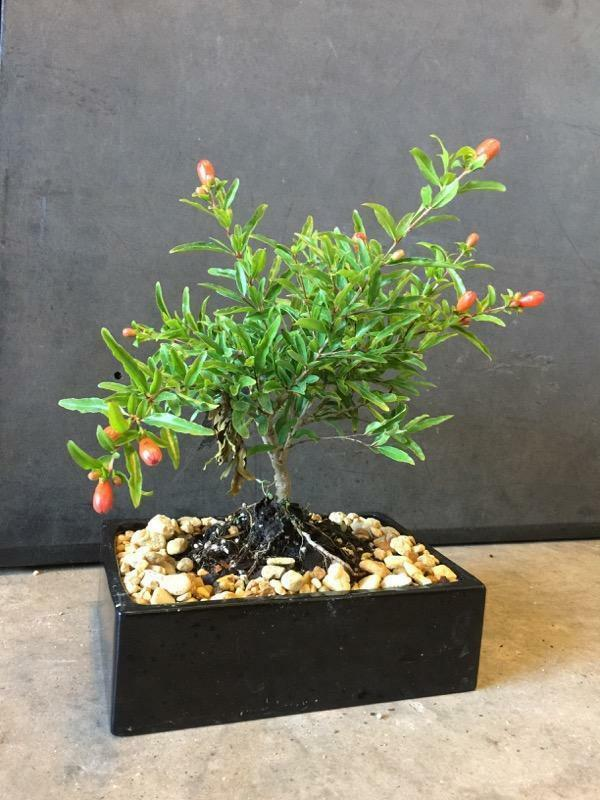 Dwarf Pomegranate Bonsai Tree Real Fruit Indoor Bonsai For Sale Online