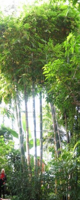 Saatgut für dekorative immergrüner Zimmerbambus GIGANTEUS Samen