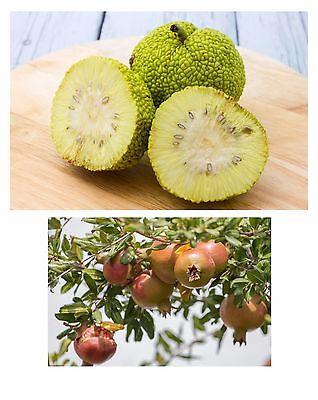 gesunde Obstsorten im Samen-Spar-Set zwei leckere Aroniabeeren und Minikiwis