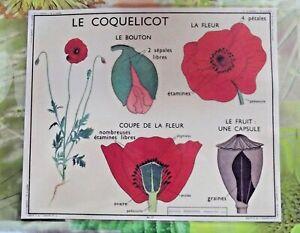 Ancienne-Carte-expo-affiche-scolaire-set-de-table-le-Coquelicot-Pavot-Petale