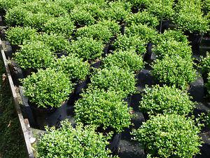 1-Ilex-Crenata-Stokes-boule-25-30CM-Diametre-couverture-plantes-7-5l-pot