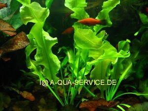 Aponogeton-ulvaceus-Salat-Wasseraehre-f-Aquarium