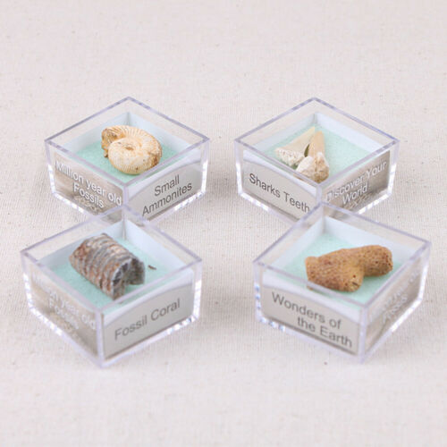 Sn /_1 Boîte Protolith Spécimen Ammonite Shark Dents Gastropod Corail Fossiles