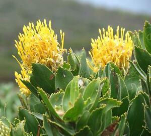 Details About Leucospermum Cordifolium Yellow 6 Seeds Pincushion Protea