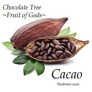 fruit of gods chocolate tree theobroma cacao cocoa small potted