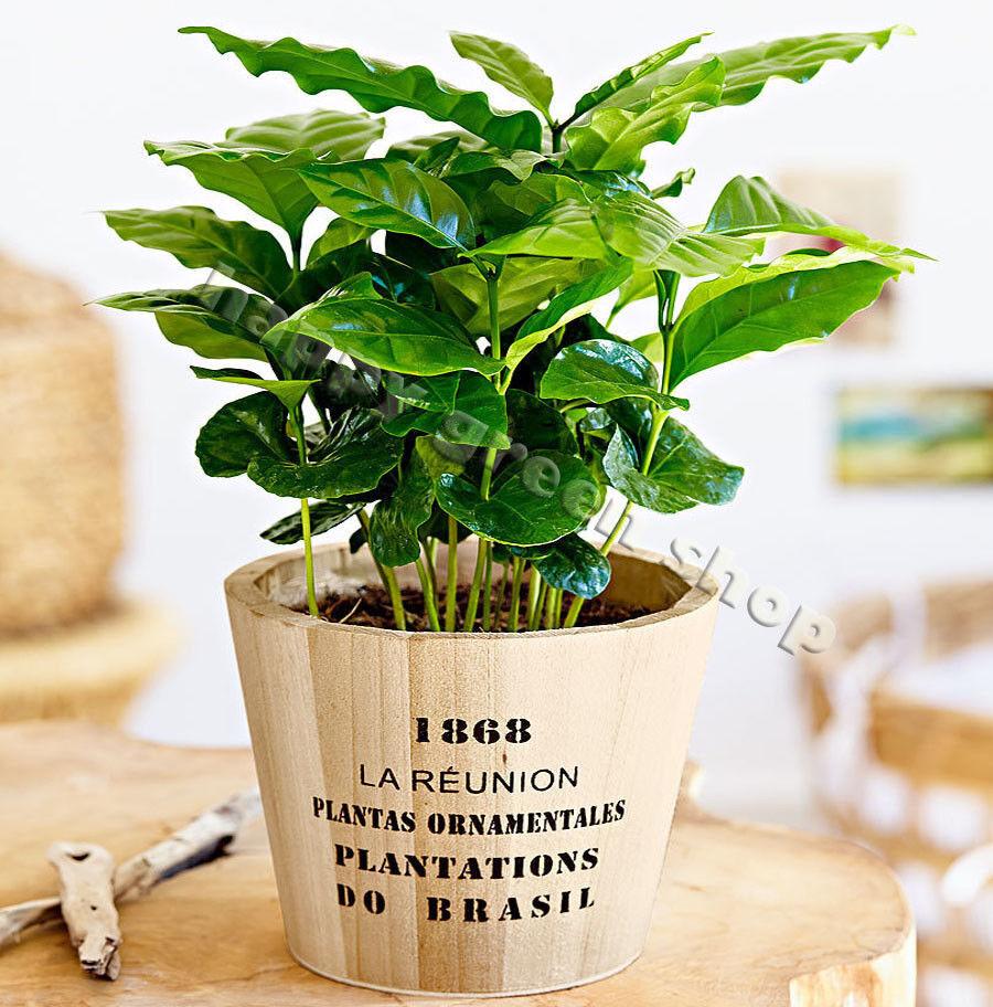 DWARF COFFEE PLANT 10 seeds - Tropical Coffee house plant - Coffea arabica nana