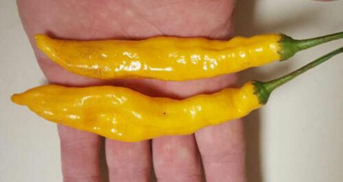 25 Very Rare Organically Grown Orange Drop Pepper Seeds R 081