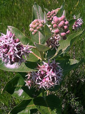 Asclepias incarnata CINDERELLA swamp milkweed Monarch butterfly plant perennial