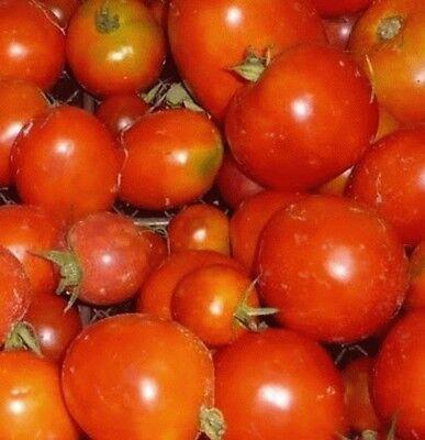 """kälteunempfindliche Variety of Siberia /""""Siberian/"""" tomatoes seed"""