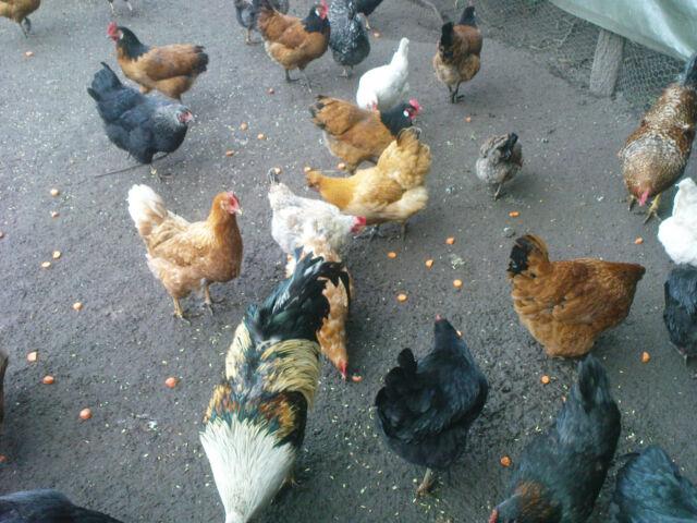 20 Hühnereier Bruteier Maran Vorwerk Sperber Grünleger...keine Bruteier