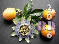 Passiflora Edulis Golden Seeds - Amazing Climber - 15 pcs Original Packing_102