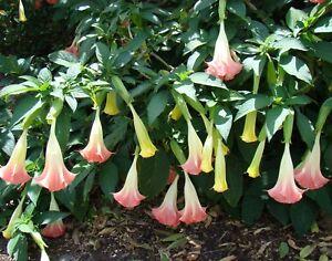 FINGERHUT !i winterharte frostharte Garten Pflanze Blume Samen Sämereien i