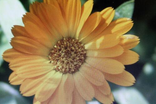 10 graines Calendula CALENDULA Officinalis #660