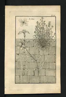 Engraving Botany 1767 Girofflier Yellow Or Keiri Antiques
