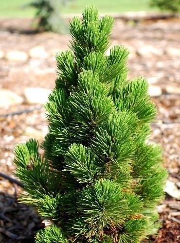 Pinus leucodermis Compact Gem grafted  in 9cm pot bonsai subject
