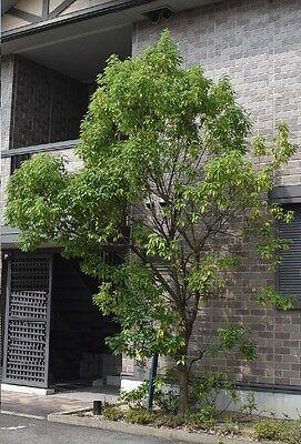 5 echte chinesische Ulme Samen Bonsai Ulme f/ür zu Hause Garten Pflanzung Mini Bonsai Samen entwerfen
