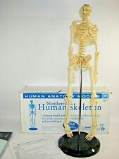 26 Educational Insights Human Anatomy Skeleton Teaching Model Numbered Bones