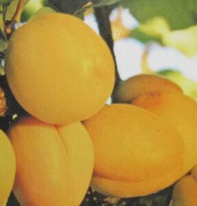 saftige Früchte winterharte Pflanze 140-170cm im Topf Aprikose /'Portici/'