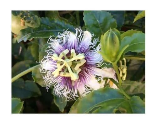 10x Passiflora edulis seeds Shrub Passion Flower Plant B47