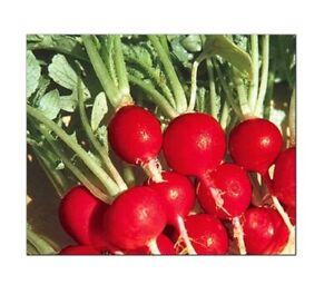 Champion Radish Seeds   NON-GMO   Heirloom   Fresh Garden Seeds