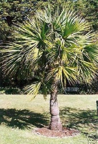 Ausläuferbildende Palme Sabal minor ✾ winterhart ✾ auch als Zimmerpflanze ✾Samen