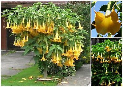Brugmansia suaveolens Yellow 20/_Seeds