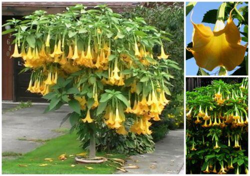 C 30 seeds of Brugmansia suaveolens yellow seed Angel trumpet yellow