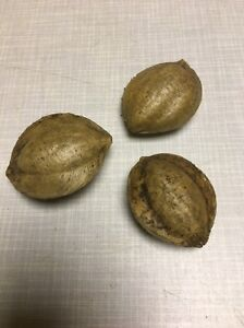 Seemandelbaum-Terminalia-Catappa-Ketapang-3-Saatmandeln-Samen