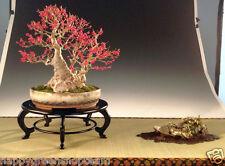 WINTERBERRY - 30 Bonsai seeds - Ilex verticillata  - Tree Winterberry Holly