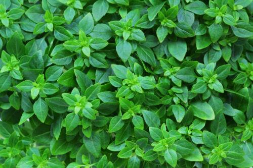 200 Samen Buschbasilikum dekorative Heil und Gewürzpflanze Basilikum